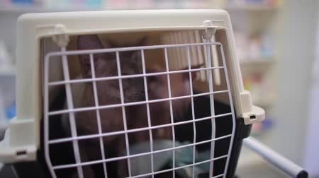 Two pedigreed cats are in a cage for transportation of animals. Sphynx breed. Dostupné videozáznamy