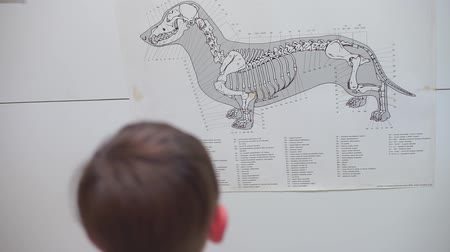the child is looking at the skeleton plan of the dog, hanging on the wall