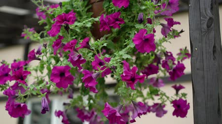 veranda : Petunia flowers at the house porch