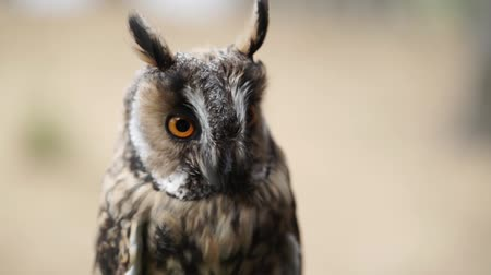 contato com os olhos : Long Eared Owl in a forest at cloudy summer day
