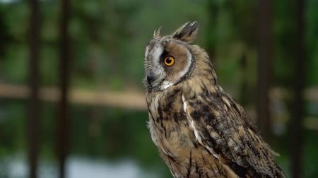 bagoly : Long Eared Owl in a forest at cloudy summer day