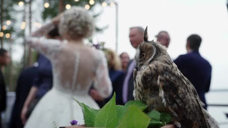 coruja : Long Eared Owl at the wedding ceremony. Bride and groom blured unrecognizable at the background Stock Footage