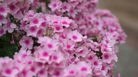 ortanca : A beautiful pink hydrangea flower in private garden Stok Video