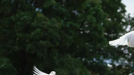 vypustit : Two flying dove, pigeon on sky. People - newlyweds releasing white birds slowmotion.
