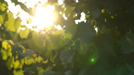 vinná réva : Grape leaves close-up in sunlight on real winery