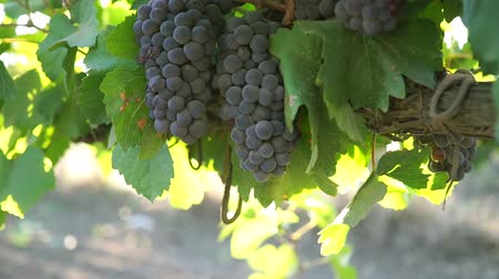 szőlőművelés : Ripe grapes with leaves on the branches close-up Stock mozgókép