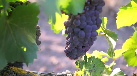 parreira : Ripe grapes with leaves on the branches close-up Stock Footage