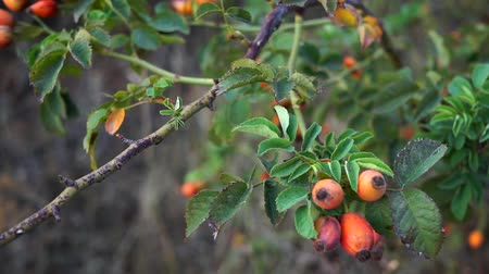 rosehip : Ripe rose hips on branches with leaves in autumn