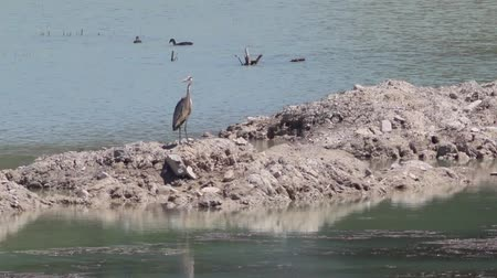 fly fish : Grey heron with ducks. The heron is on a small piece of land inside a lake in Italian Tuscany region. Stock Footage