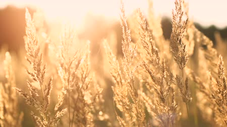 longo : Grass in the sunset light