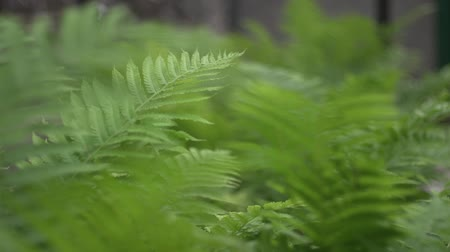 furl : Fern leaves are moving in the wind