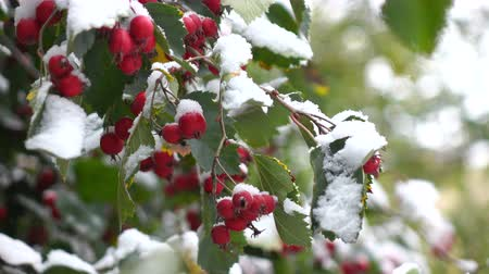 prickly : green leaves and red berries covered with snow