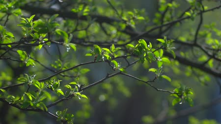 freshness background : The first spring gentle leaves, buds and branches macro background