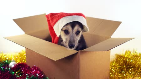 искренний : Little puppy dog sitting in a cardboard box with Christmas and New Year decorations. Стоковые видеозаписи