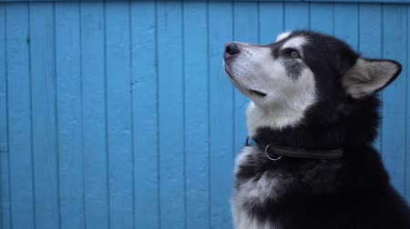 аляскинским : Alaskan Malamute dog against a blue wooden house wall background in winter