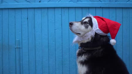 аляскинским : Alaskan Malamute dog in Santas hat against a blue wooden house wall background in winter