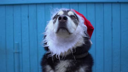 аляскинским : Alaskan Malamute dog in Santas hat against a blue wooden house wall background. Стоковые видеозаписи