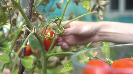 domates : Young woman harvesting ripe plum red tomatoes from branch in her garden and putting into clear glass bowl. Stok Video