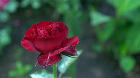 flower buds : Close up of red rose on a bush in a garden. Green blurry nature background with place for text. Summertime Stock Footage