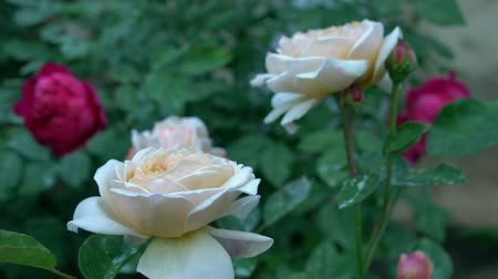 bud rose : Bushes of beautiful beige and red roses in countryside garden. Green nature background Summertime Stock Footage