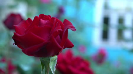 bud rose : Close up of red roses in countryside garden. Green blurry nature background with place for text. Summertime Stock Footage