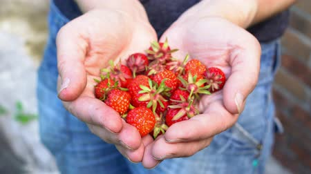 Fresh organic strawberries in human hands in old english garden Summertime
