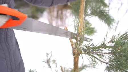 alaszka : Close up of hands cutting pine tree branches by saw in winter snowy garden for Merry Christmas and Happy New Year