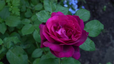 damascos : Red English rose in traditional garden