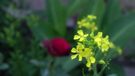 аромат : Arugula flowers in an English garden on a background of roses
