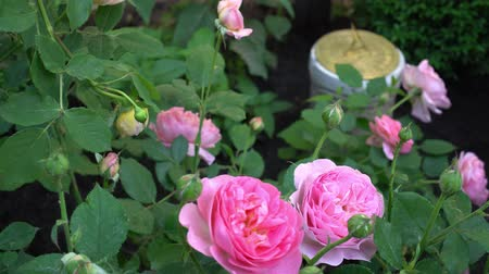 English roses in traditional garden with sundial on background