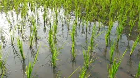 орошение : Young rice are growing in the rice fields.