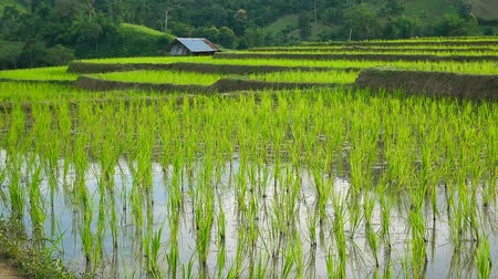 hántolatlan rizs : Young rice are growing in the rice fields.