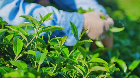 thai kültür : Woman picking green tea leaves on plantation in Chiang Rai Province in Northern Thailand. Stok Video