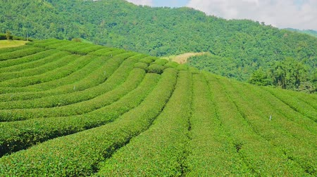 grüner tee : Teeplantage in Doi Mae Salong, Provinz Chiang Rai in Nord-Thailand.