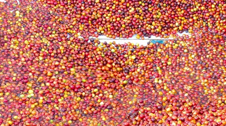 vagens : Wet process method 100% Organic arabica coffee beans in CHIANG RAI, North of Thailand. Vídeos
