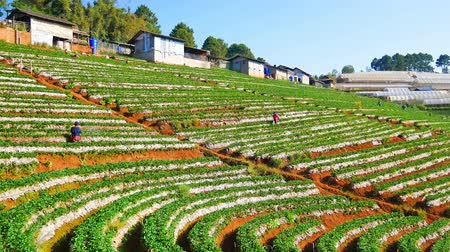 Strawberry field at Doi Angkhang mountain in Chiang Mai, Thailand.