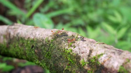Red or yellow Ant on tree. 影像素材