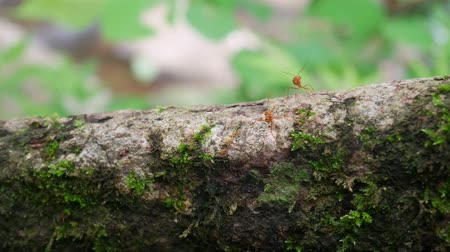red ant : Red or yellow Ant on tree. Stock Footage
