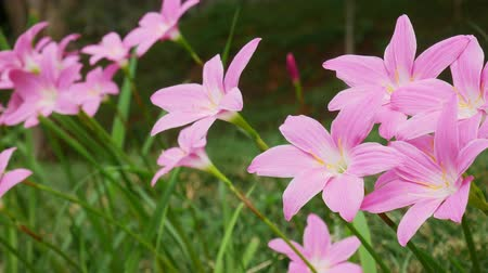 lelie : pink lily flowers in the garden