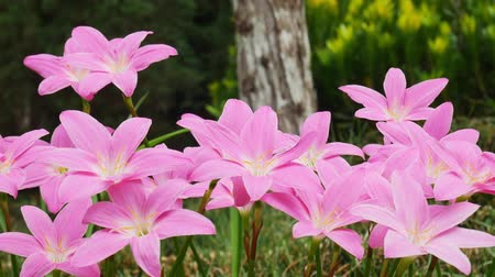 pink lily flowers in the garden