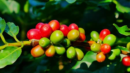 feijões : 100% Organic Arabica Coffee Beans On Tree In CHIANG RAI, North of Thailand.
