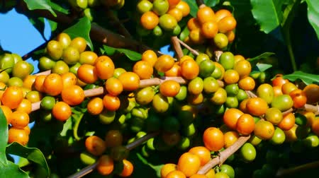 vagens : 100% Organic Arabica Coffee Beans On Tree In CHIANG RAI, North of Thailand.