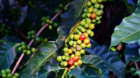 fasola : 100% Organic Arabica Coffee Beans On Tree In CHIANG RAI, North of Thailand.