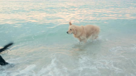 salto : Group of labradors swimming and having fun in the sea at the sunset