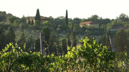 toscana : Scenes from a Tuscan vineyard .