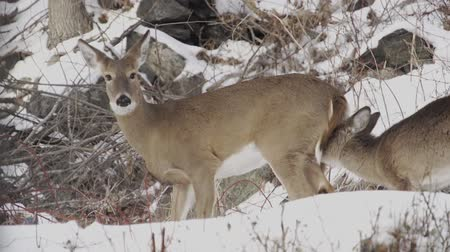 foraging behavior : Various shots of deer foraging in the winter.