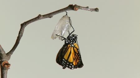 mudança : Timelapse of a Monarch Butterfly emerging from the chrysalis