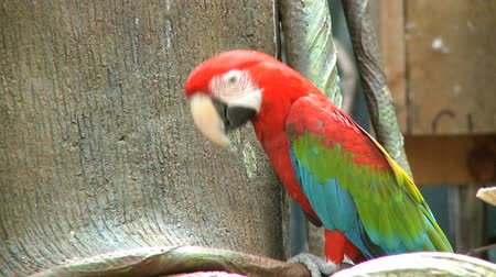 állatkert : A Red Macaw perched at a zoo.
