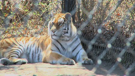 tigris : A Siberian or Amur Tiger lounges calmly.