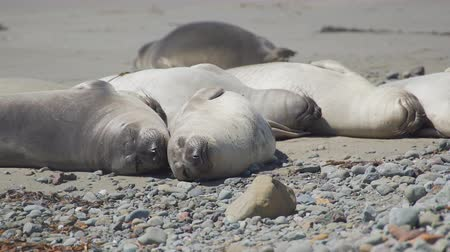 rookery : Scene from a colony of elephant seals spending time at Piedras Blancas in the southern range of Big Sur, near San Simeon. Stock Footage